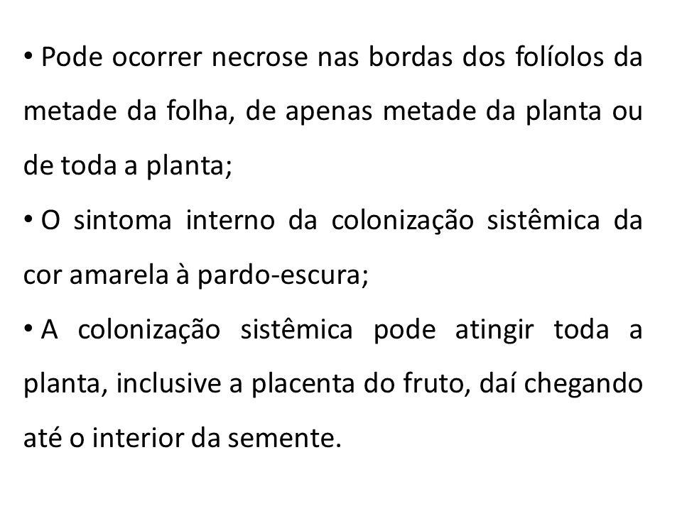 Pode ocorrer necrose nas bordas dos folíolos da metade da folha, de apenas metade da planta ou de toda a planta; O sintoma interno da colonização sist