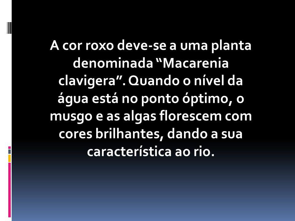 A cor roxo deve-se a uma planta denominada Macarenia clavigera.
