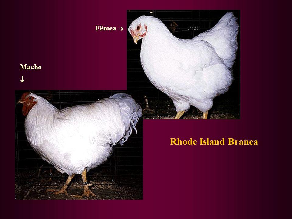 Rhode Island Branca Fêmea Macho