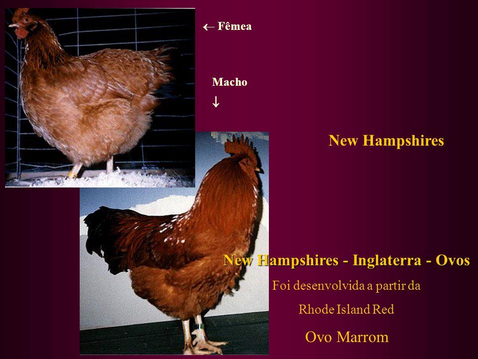 New Hampshires - Inglaterra - Ovos Foi desenvolvida a partir da Rhode Island Red Ovo Marrom New Hampshires Macho Fêmea