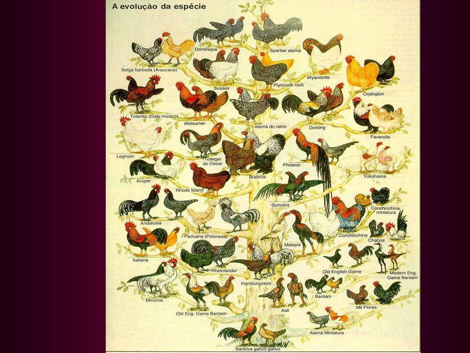Wyandotte Prateada Laceada Wyandotte –EUA- Carne e Ovos PM=4,3 kg/PF=3,3kg Pele Amarelada, Ovo Marrom Fêmea Macho