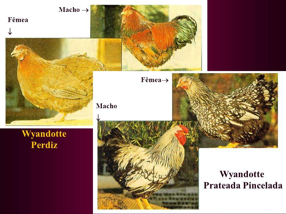 Wyandotte Prateada Pincelada Wyandotte Perdiz Macho Fêmea Fêmea Macho