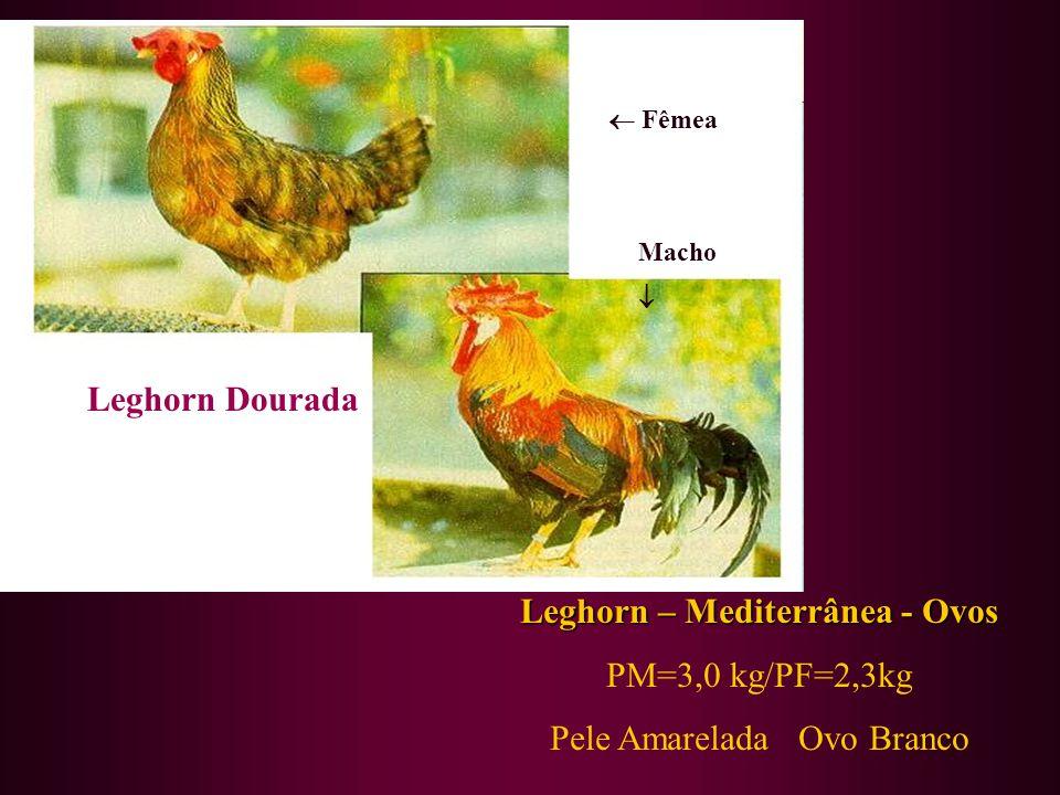 Leghorn Dourada Leghorn – Mediterrânea - Ovos PM=3,0 kg/PF=2,3kg Pele Amarelada Ovo Branco Fêmea Macho
