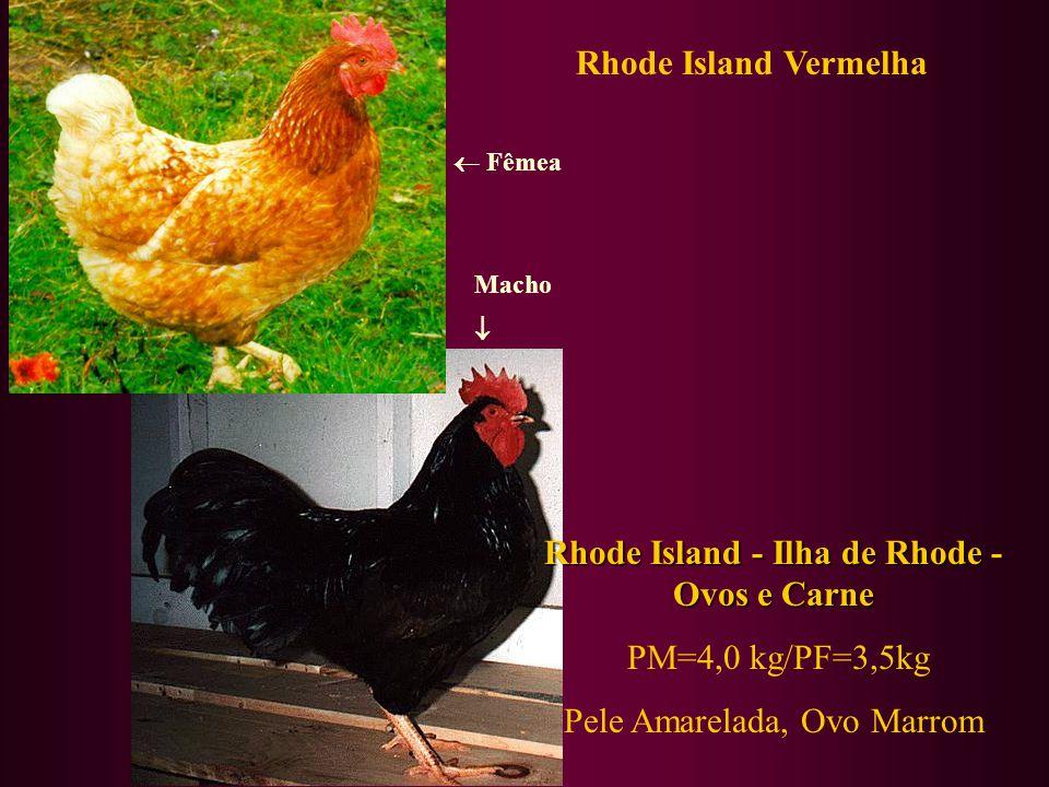 Rhode Island Vermelha Rhode Island - Ilha de Rhode - Ovos e Carne PM=4,0 kg/PF=3,5kg Pele Amarelada, Ovo Marrom Fêmea Macho