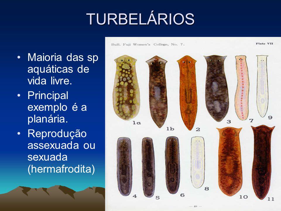 TURBELÁRIOS Maioria das sp aquáticas de vida livre.