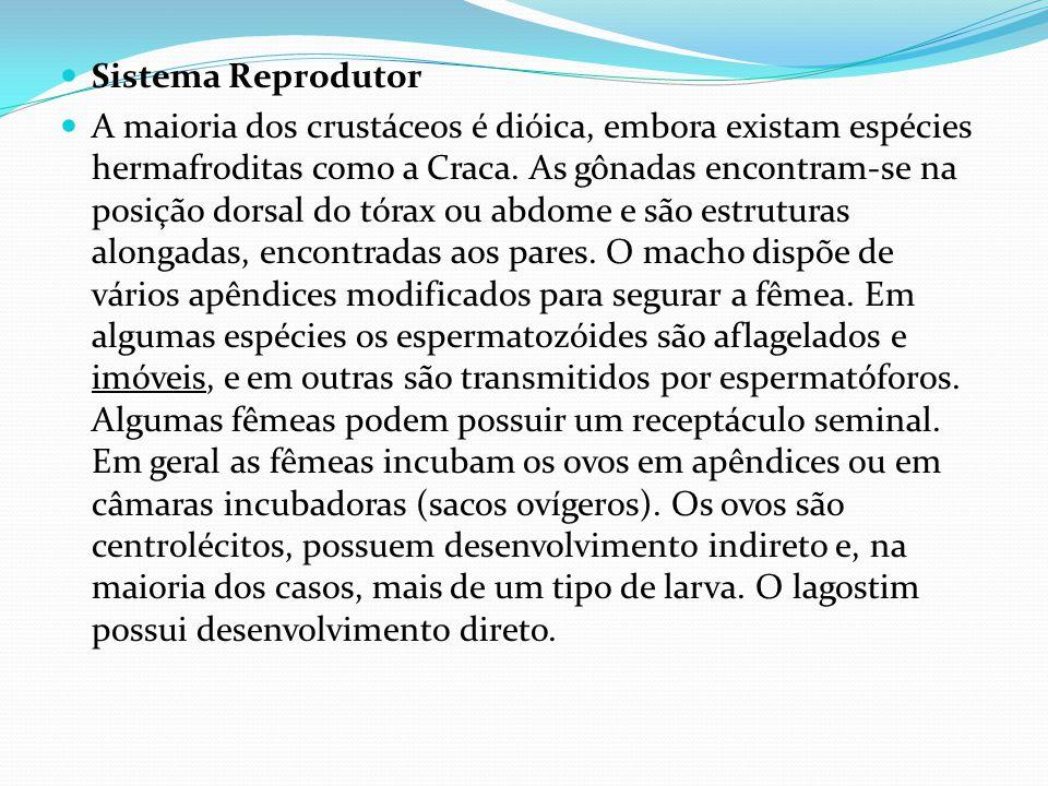 Sistema Reprodutor A maioria dos crustáceos é dióica, embora existam espécies hermafroditas como a Craca.