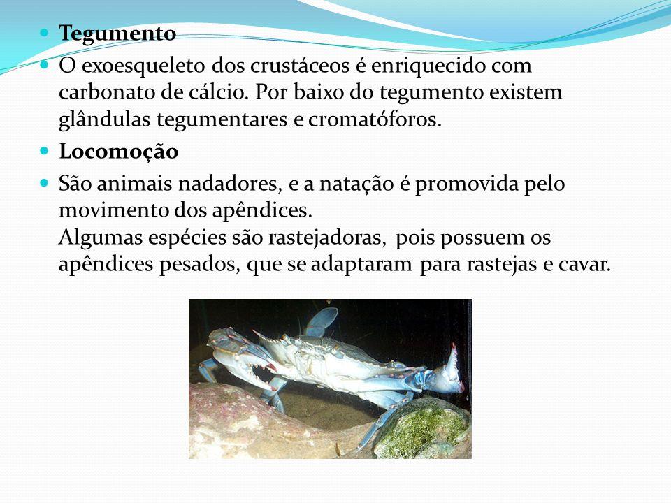 Tegumento O exoesqueleto dos crustáceos é enriquecido com carbonato de cálcio.