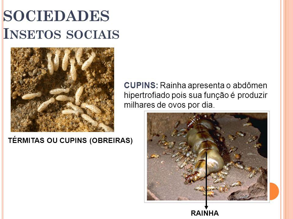 TÉRMITAS OU CUPINS (OBREIRAS) SOCIEDADES I NSETOS SOCIAIS CUPINS: Rainha apresenta o abdômen hipertrofiado pois sua função é produzir milhares de ovos por dia.