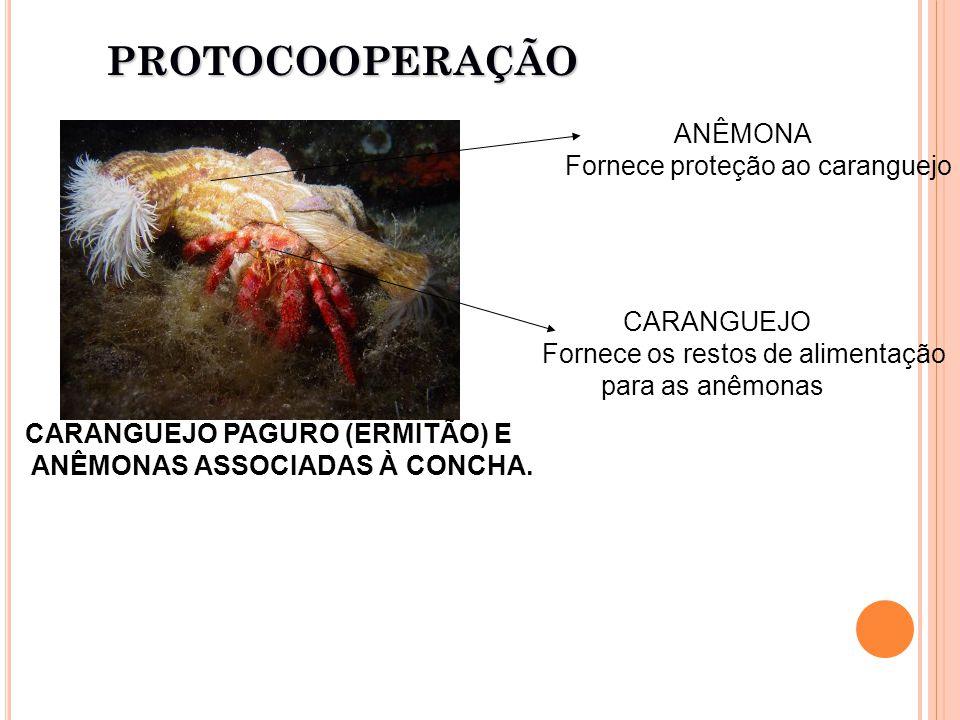 CARANGUEJO PAGURO (ERMITÃO) E ANÊMONAS ASSOCIADAS À CONCHA.PROTOCOOPERAÇÃO CARANGUEJO Fornece os restos de alimentação para as anêmonas ANÊMONA Fornece proteção ao caranguejo