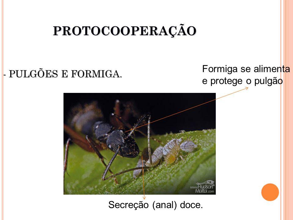 - PULGÕES E FORMIGA. PROTOCOOPERAÇÃO Secreção (anal) doce. Formiga se alimenta e protege o pulgão