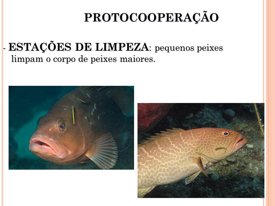 - ESTAÇÕES DE LIMPEZA : pequenos peixes limpam o corpo de peixes maiores. PROTOCOOPERAÇÃO
