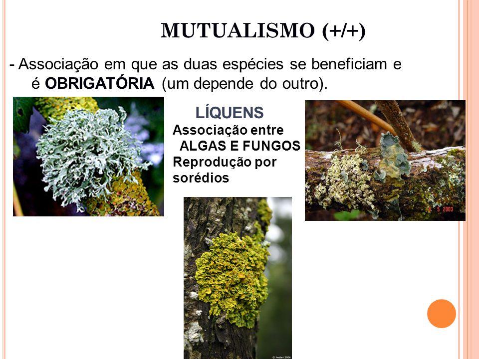 MUTUALISMO (+/+) LÍQUENS Associação entre ALGAS E FUNGOS Reprodução por sorédios - Associação em que as duas espécies se beneficiam e é OBRIGATÓRIA (um depende do outro).