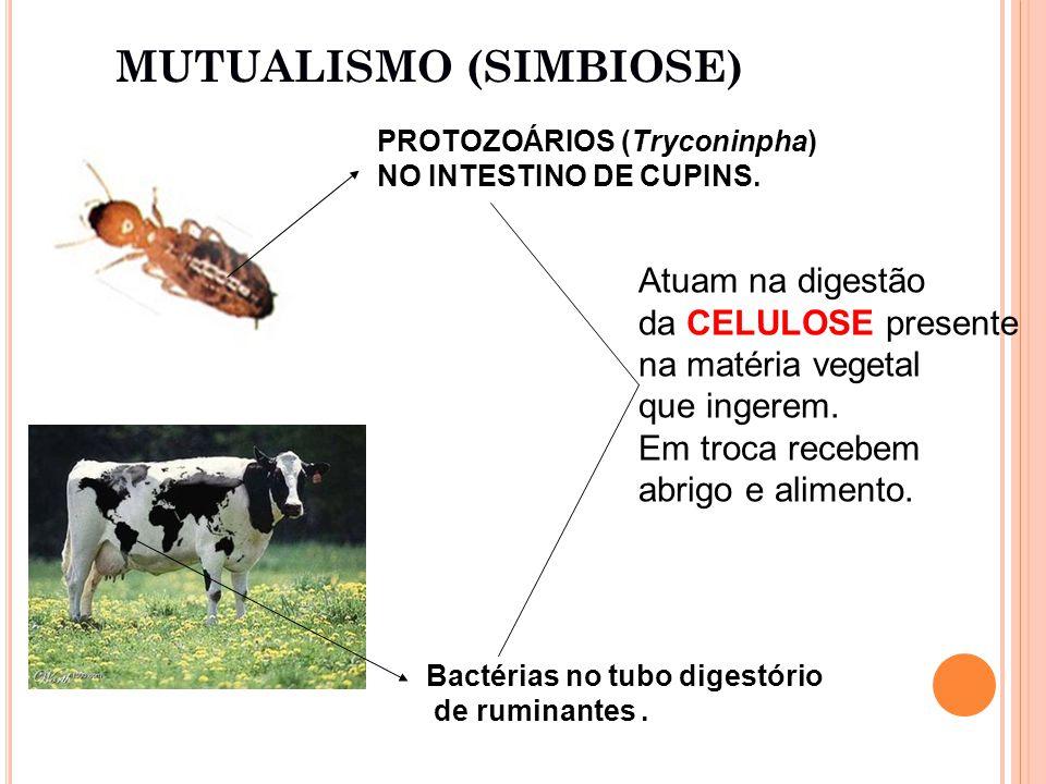 PROTOZOÁRIOS (Tryconinpha) NO INTESTINO DE CUPINS.