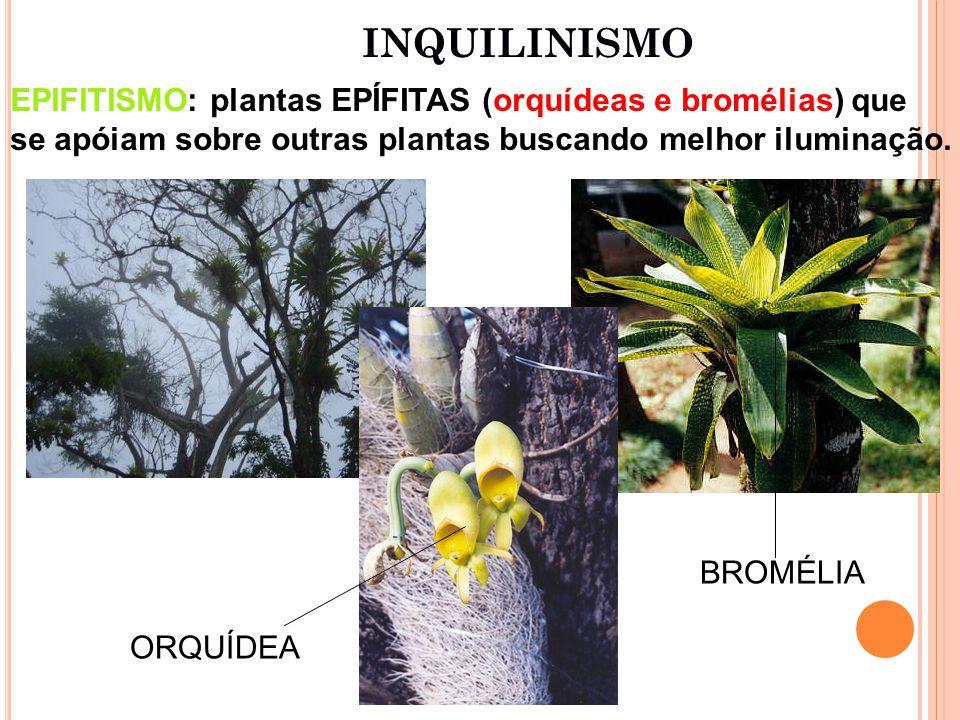 INQUILINISMO EPIFITISMO: plantas EPÍFITAS (orquídeas e bromélias) que se apóiam sobre outras plantas buscando melhor iluminação.
