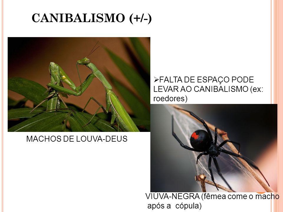 CANIBALISMO (+/-) MACHOS DE LOUVA-DEUS VIÚVA-NEGRA (fêmea come o macho após a cópula) FALTA DE ESPAÇO PODE LEVAR AO CANIBALISMO (ex: roedores)