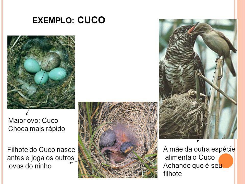 Maior ovo: Cuco Choca mais rápido Filhote do Cuco nasce antes e joga os outros ovos do ninho A mãe da outra espécie alimenta o Cuco Achando que é seu filhote EXEMPLO: CUCO