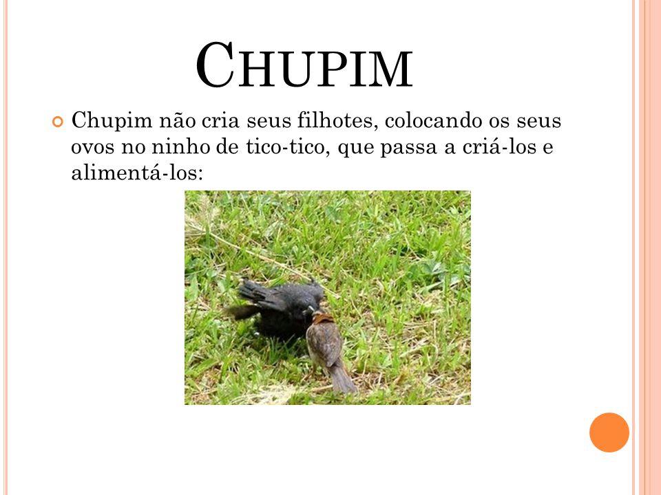 C HUPIM Chupim não cria seus filhotes, colocando os seus ovos no ninho de tico-tico, que passa a criá-los e alimentá-los: