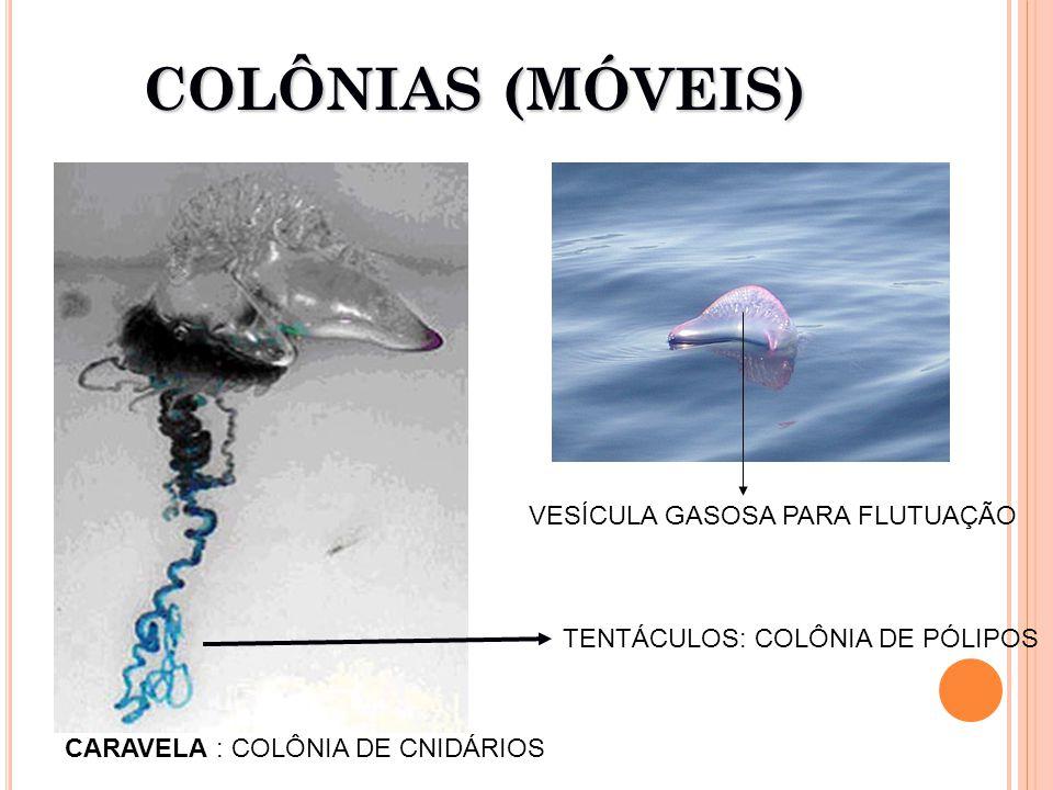 COLÔNIAS (MÓVEIS) CARAVELA : COLÔNIA DE CNIDÁRIOS TENTÁCULOS: COLÔNIA DE PÓLIPOS VESÍCULA GASOSA PARA FLUTUAÇÃO