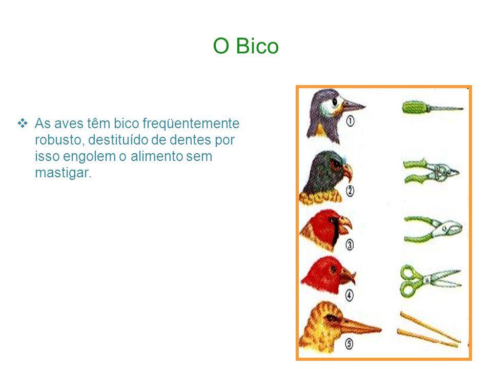 O Bico As aves têm bico freqüentemente robusto, destituído de dentes por isso engolem o alimento sem mastigar.