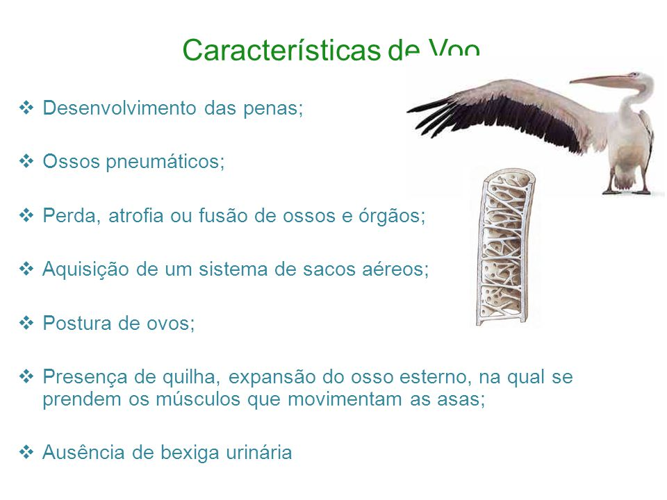 Características de Voo Desenvolvimento das penas; Ossos pneumáticos; Perda, atrofia ou fusão de ossos e órgãos; Aquisição de um sistema de sacos aéreos; Postura de ovos; Presença de quilha, expansão do osso esterno, na qual se prendem os músculos que movimentam as asas; Ausência de bexiga urinária