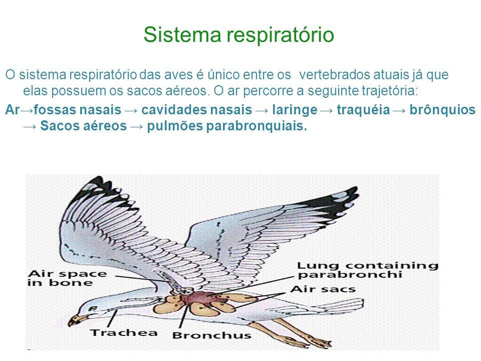 Sistema respiratório O sistema respiratório das aves é único entre os vertebrados atuais já que elas possuem os sacos aéreos.