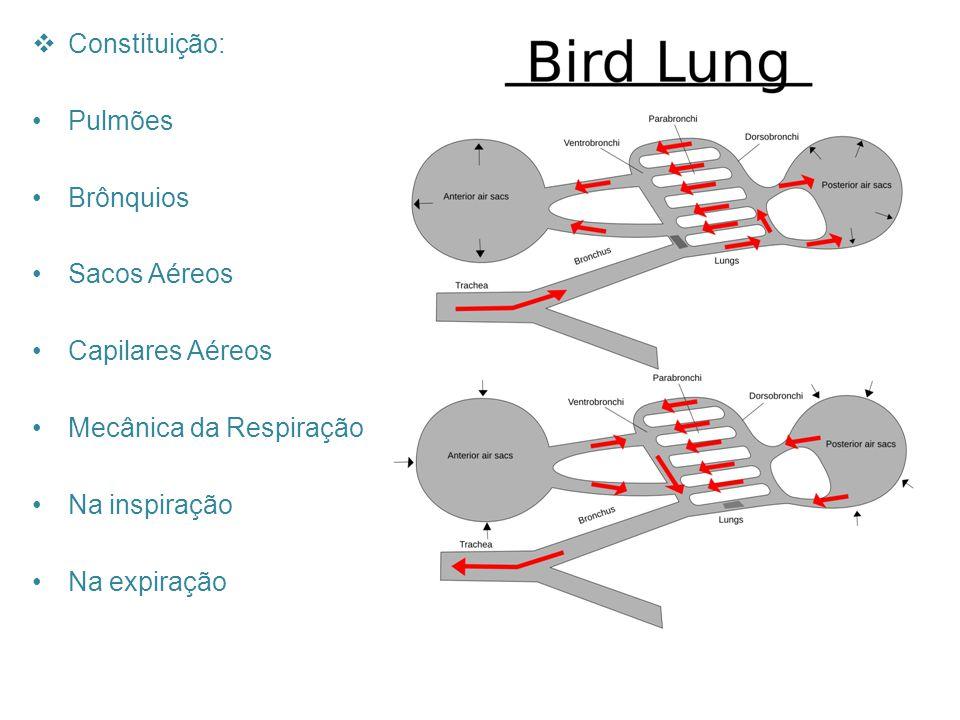 Constituição: Pulmões Brônquios Sacos Aéreos Capilares Aéreos Mecânica da Respiração Na inspiração Na expiração