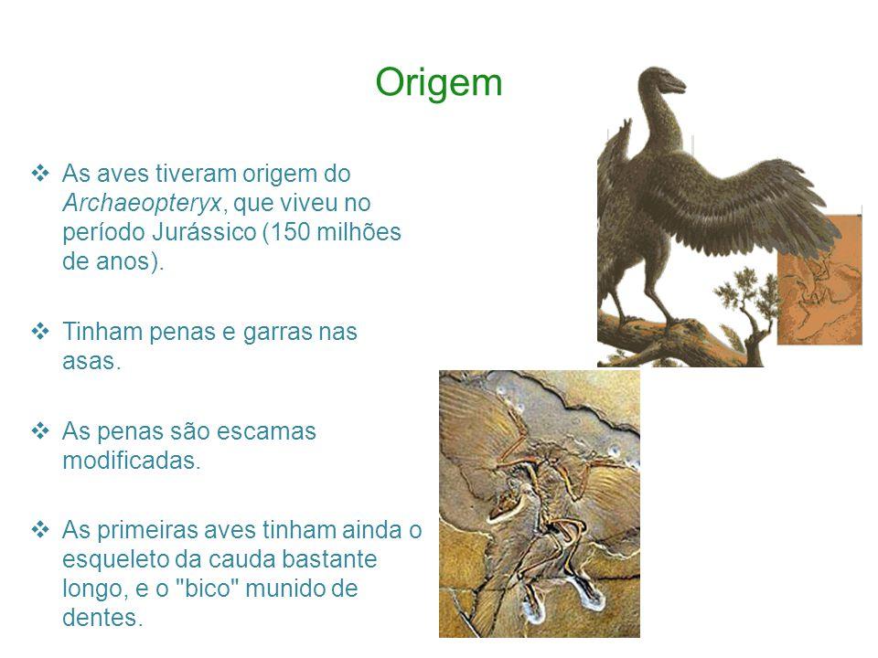 Origem As aves tiveram origem do Archaeopteryx, que viveu no período Jurássico (150 milhões de anos).
