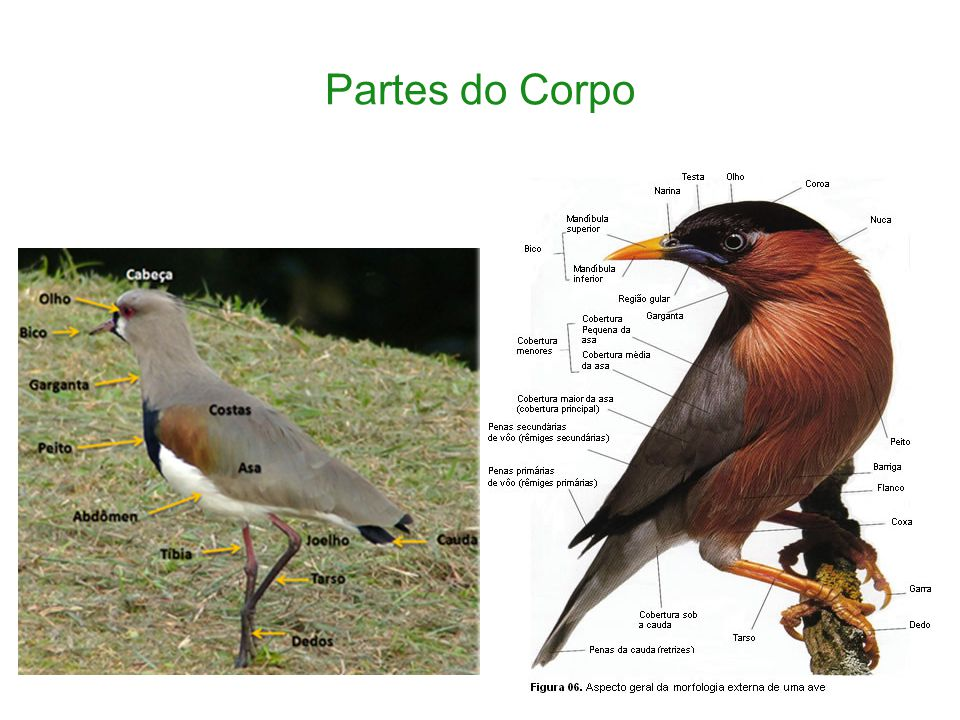 Asas As asas são uma evolução dos membros anteriores das aves-répteis pré-históricas.