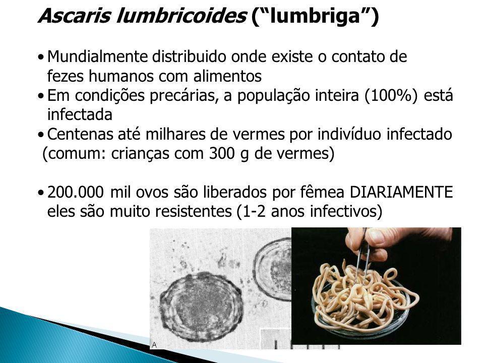 Ascaris lumbricoides (lumbriga) Mundialmente distribuido onde existe o contato de fezes humanos com alimentos Em condições precárias, a população inte