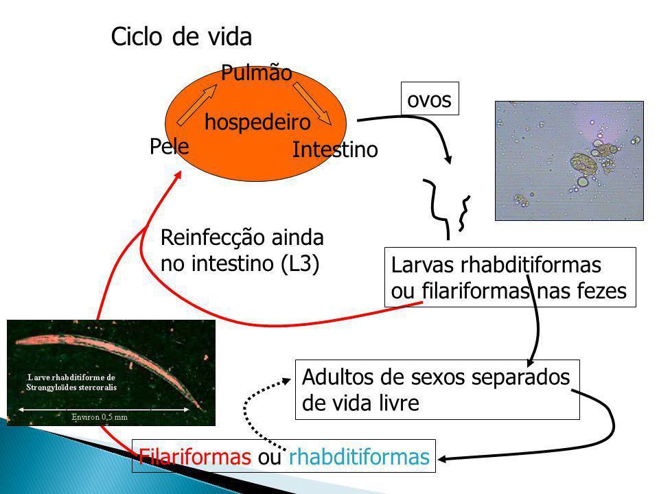 Ciclo de vida hospedeiro Reinfecção ainda no intestino (L3) Adultos de sexos separados de vida livre Filariformas ou rhabditiformas Pele Pulmão Intest