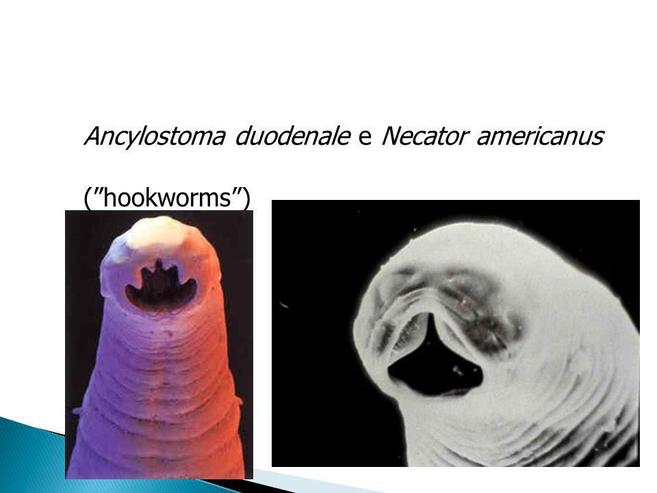 Ancylostoma duodenale e Necator americanus (hookworms)