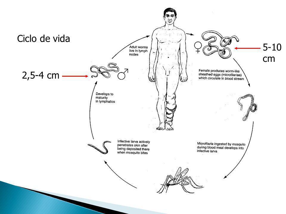 Ciclo de vida 5-10 cm 2,5-4 cm