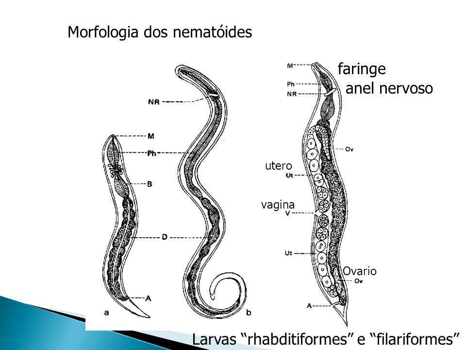 Morfologia dos nematóides anel nervoso faringe Larvas rhabditiformes e filariformes utero vagina Ovario