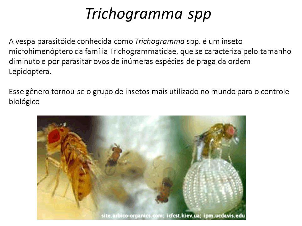 A vespa parasitóide conhecida como Trichogramma spp. é um inseto microhimenóptero da família Trichogrammatidae, que se caracteriza pelo tamanho diminu