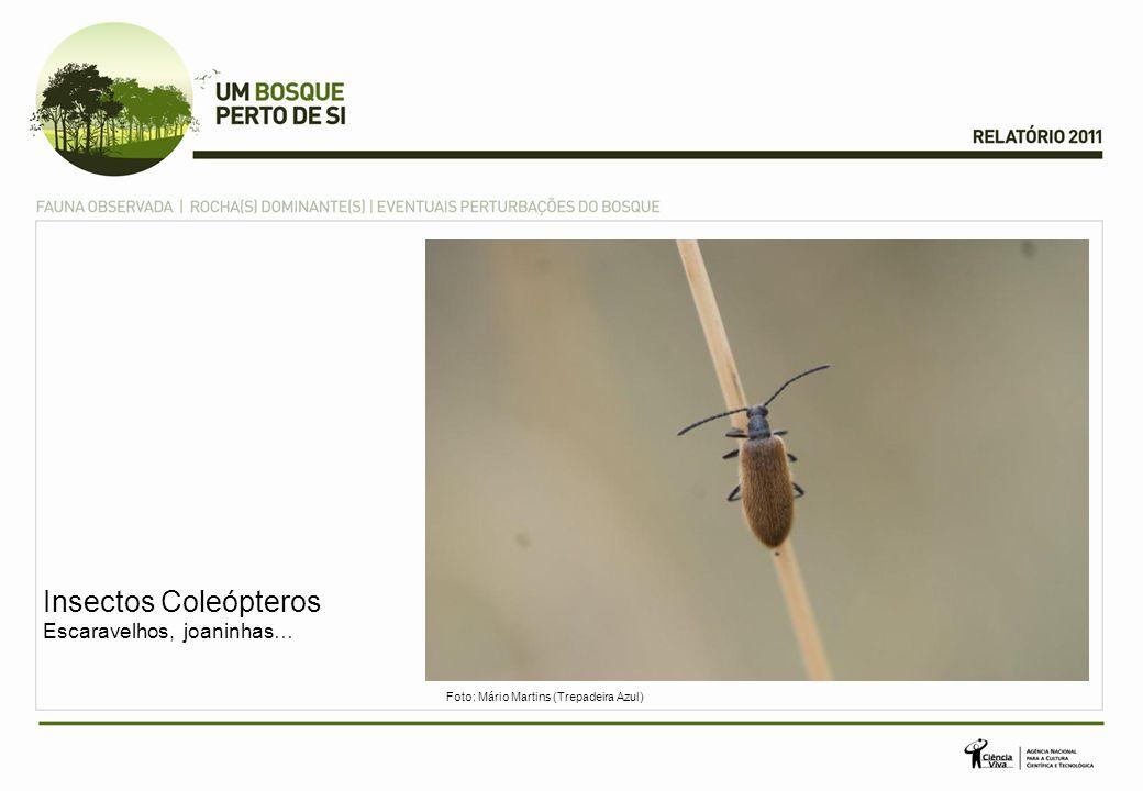 Insectos Coleópteros Escaravelhos, joaninhas… Foto: Mário Martins (Trepadeira Azul)
