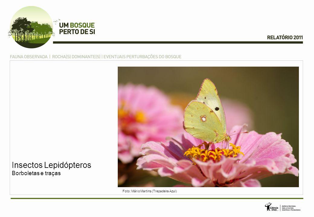 Insectos Lepidópteros Borboletas e traças Foto: Mário Martins (Trepadeira Azul)