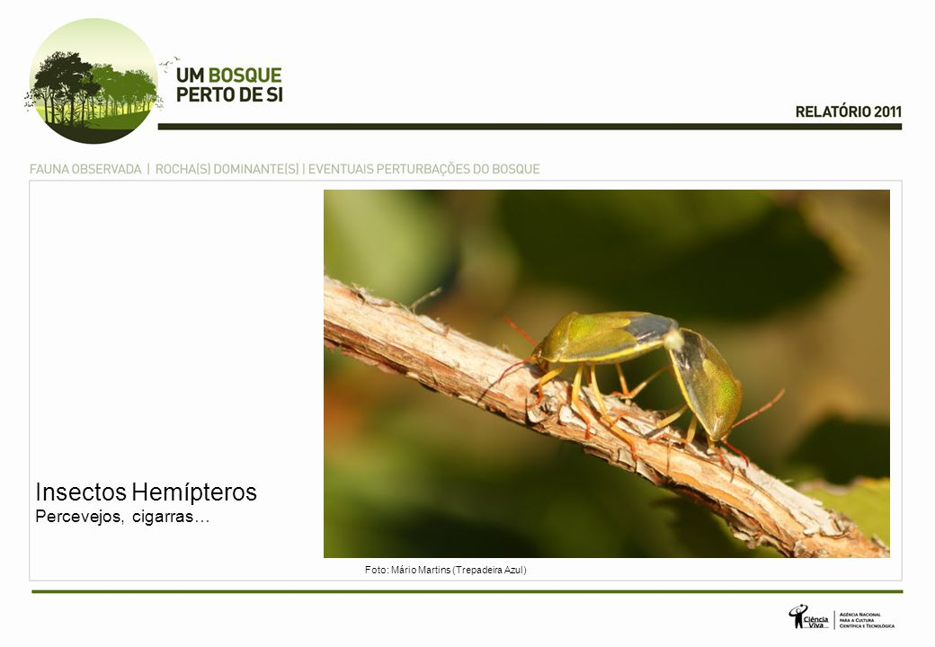 Insectos Hemípteros Percevejos, cigarras… Foto: Mário Martins (Trepadeira Azul)