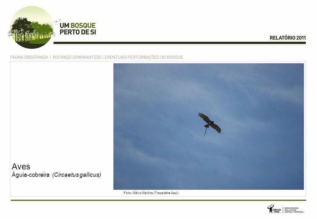 Aves Águia-cobreira (Circaetus gallicus) Foto: Mário Martins (Trepadeira Azul)