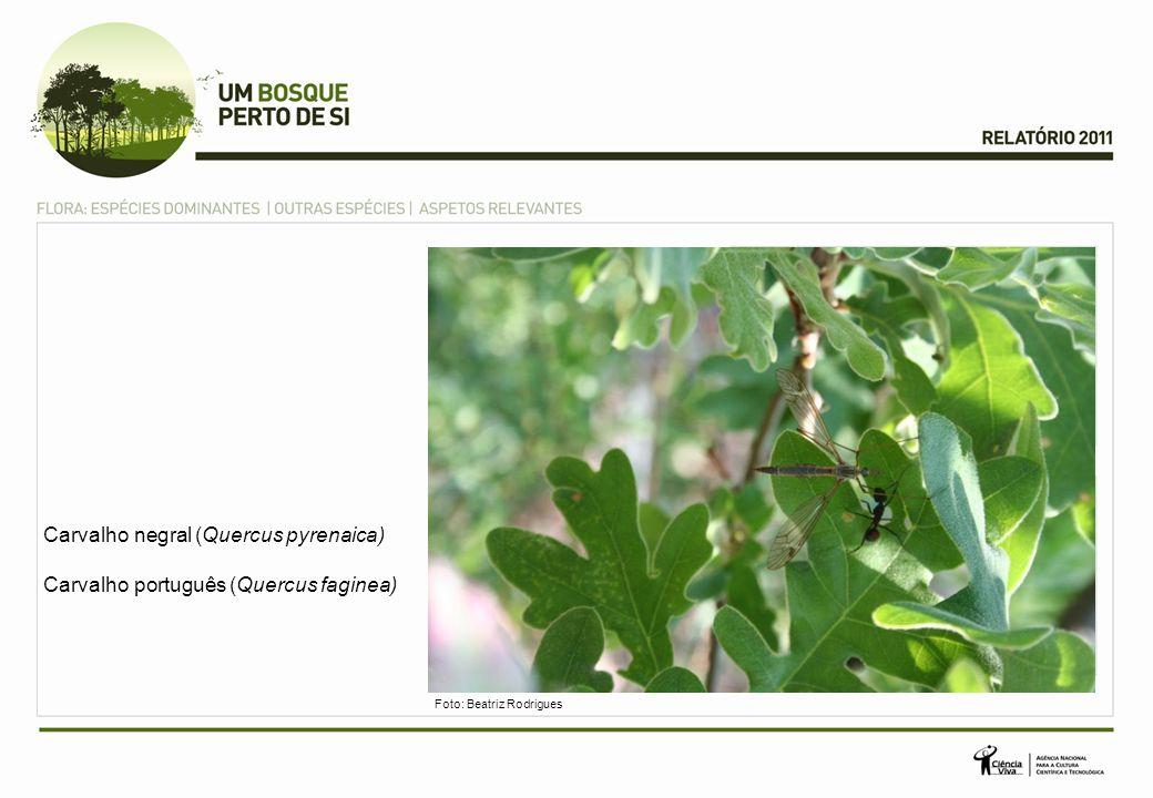 Carvalho negral (Quercus pyrenaica) Carvalho português (Quercus faginea) Foto: Beatriz Rodrigues