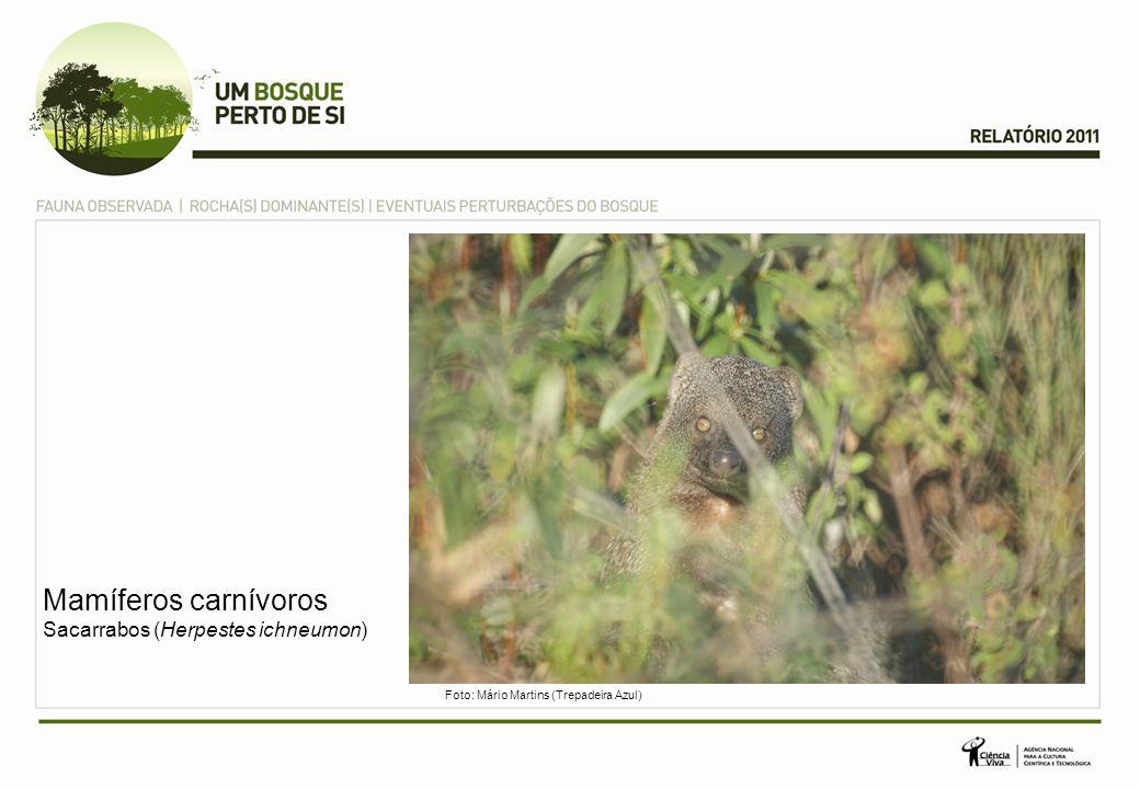 Mamíferos carnívoros Sacarrabos (Herpestes ichneumon) Foto: Mário Martins (Trepadeira Azul)