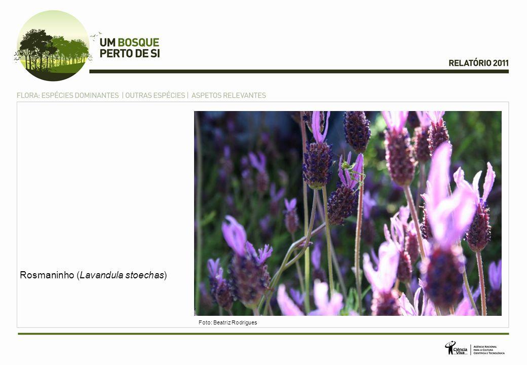 Rosmaninho (Lavandula stoechas) Foto: Beatriz Rodrigues