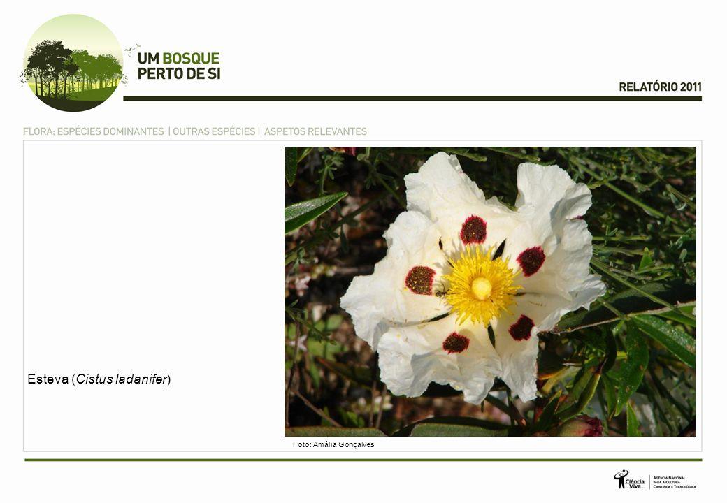 Narciso (Narcissus spp.) Foto: Mário Martins (Trepadeira Azul)