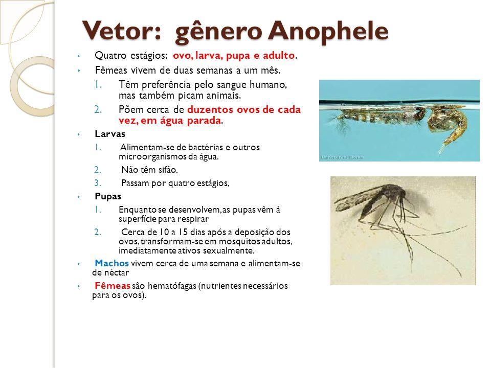 Vetor: gênero Anophele Quatro estágios: ovo, larva, pupa e adulto. Fêmeas vivem de duas semanas a um mês. 1.Têm preferência pelo sangue humano, mas ta