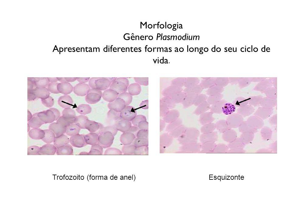 Morfologia Gênero Plasmodium Apresentam diferentes formas ao longo do seu ciclo de vida. Trofozoito (forma de anel) Esquizonte