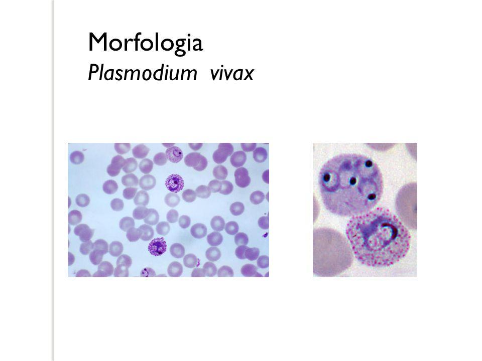 Morfologia Plasmodium vivax