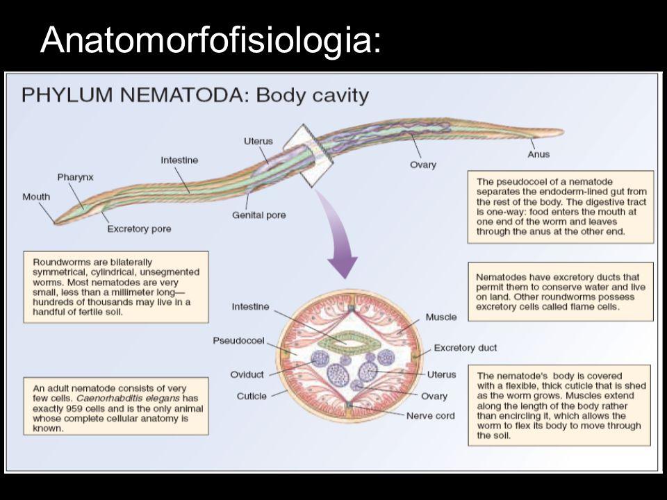 Nutrição e Digestão: Sistema digestório completo; Boca localizada na porção anterior...faringe curta e musculosa que impulsiona o alimento para o intestino, um tubo delgado e reto que termina no ânus.
