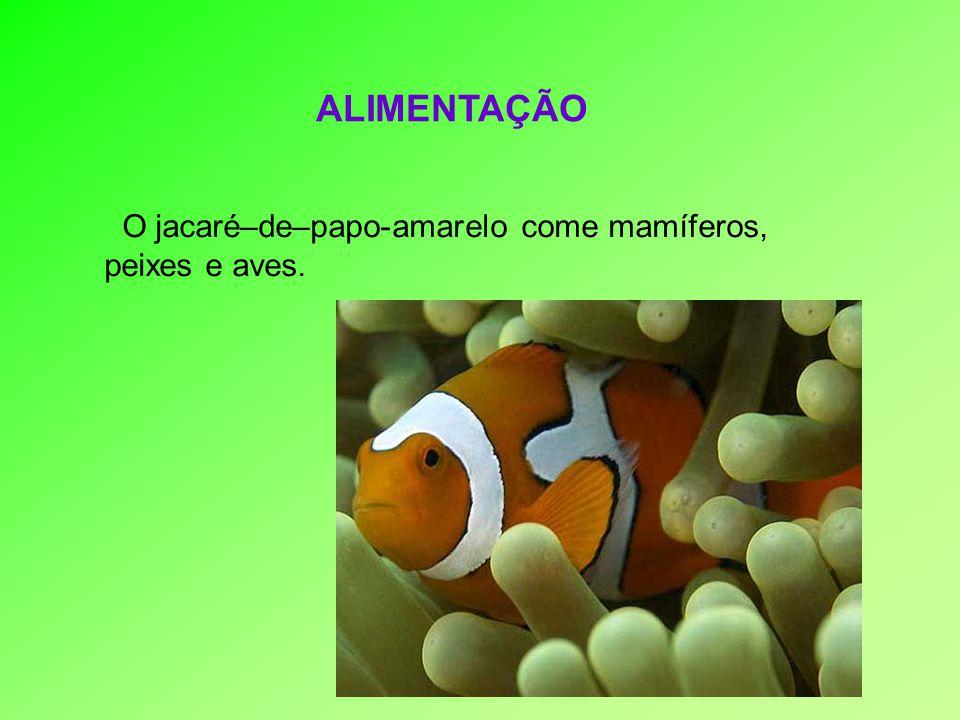 O jacaré–de–papo-amarelo come mamíferos, peixes e aves. ALIMENTAÇÃO