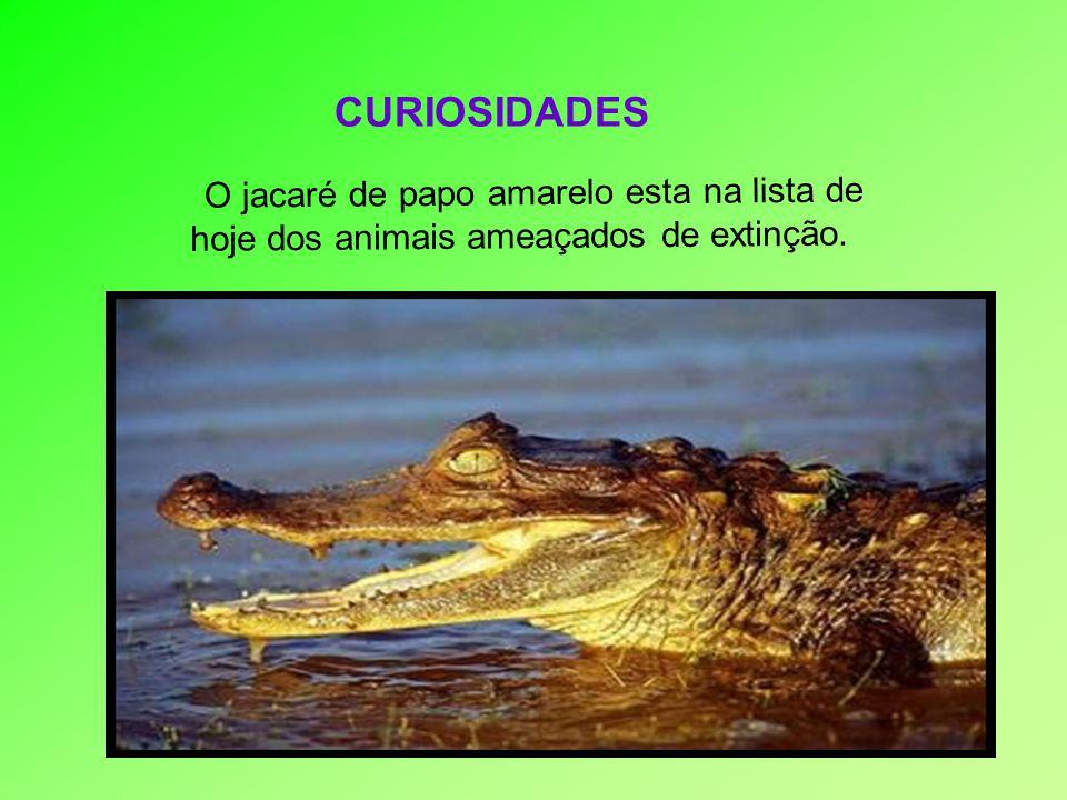 CURIOSIDADES O jacaré de papo amarelo esta na lista de hoje dos animais ameaçados de extinção.