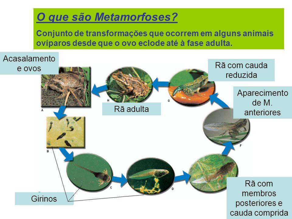 O que são Metamorfoses? Conjunto de transformações que ocorrem em alguns animais ovíparos desde que o ovo eclode até à fase adulta. Acasalamento e ovo