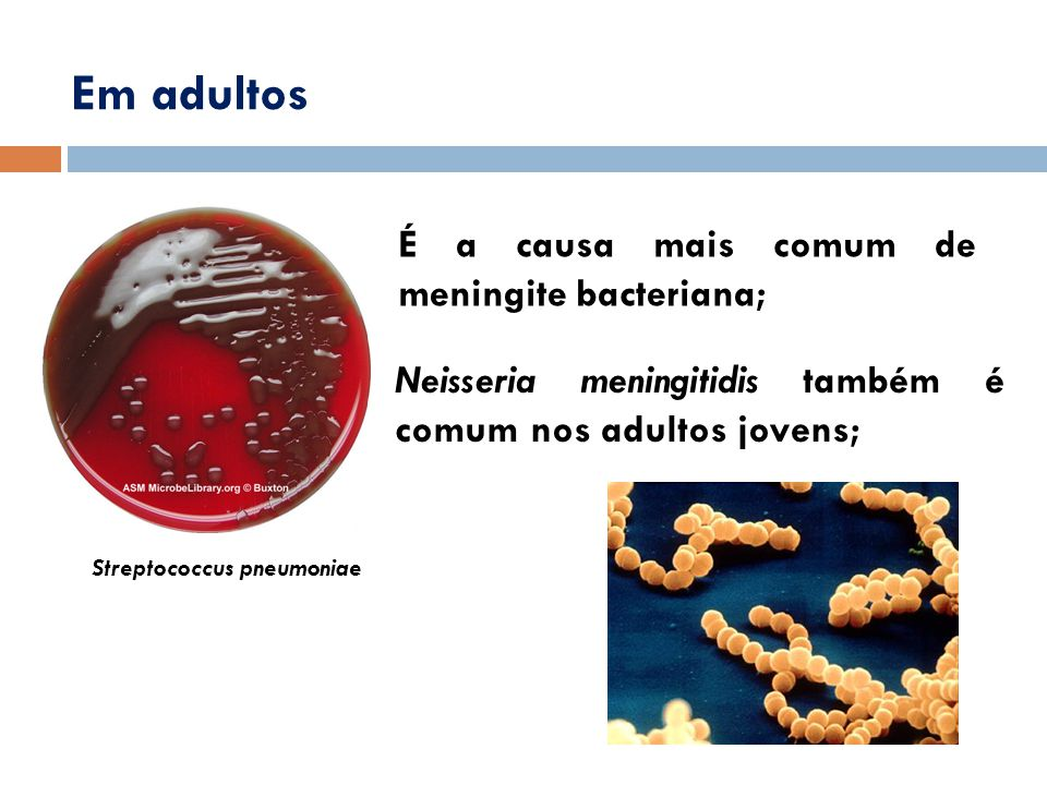 É a causa mais comum de meningite bacteriana; Em adultos Streptococcus pneumoniae Neisseria meningitidis também é comum nos adultos jovens;